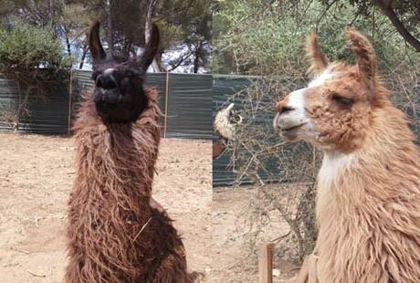 Var Lamas Six Fours